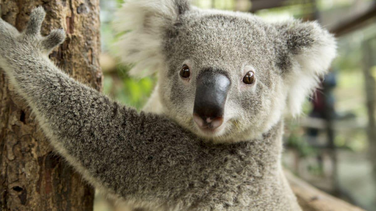 Coloriage Gratuit Koala A Imprimer Un Max D Idees