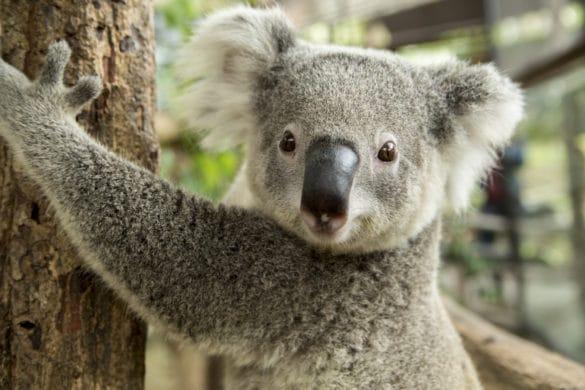 koala adulte dans un arbre
